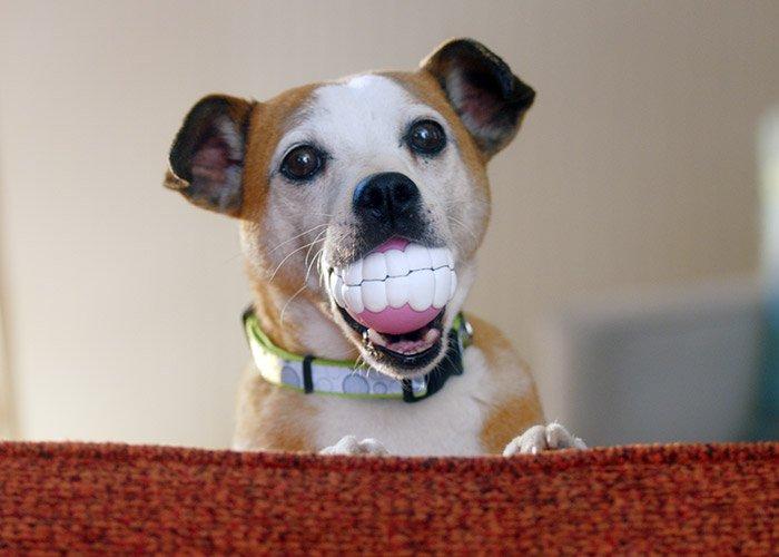 Vegas Jack Russell Terrier Mix