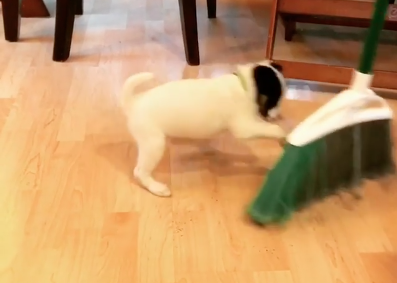 Tiny Puppy 'Helps' Mom Sweep in Hilarious Battle with Broom [Video]