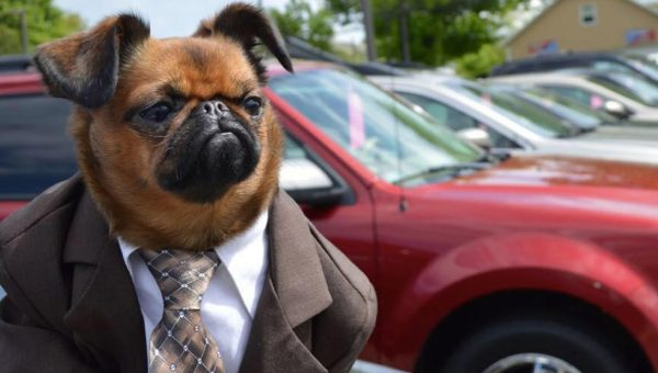 Tiny Brussels Griffon Wants to Sell You a Used Car [Video]