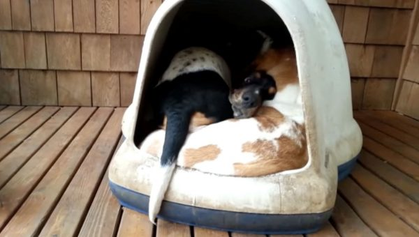 You Won't Believe How Many Basset Hounds Fit in This Doghouse [Video]