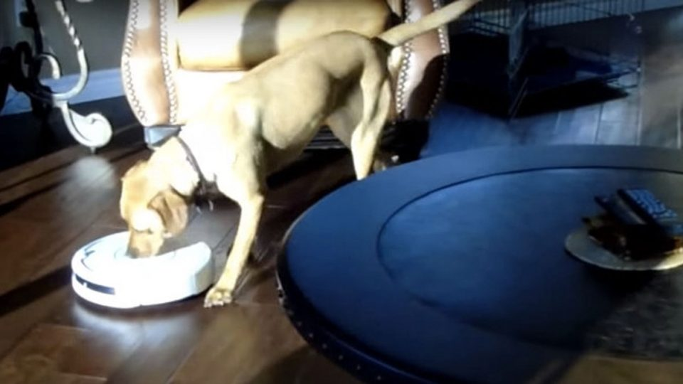 Miraculous This Labrador Figured Out How To Turn Off The Roomba And Now Download Free Architecture Designs Scobabritishbridgeorg