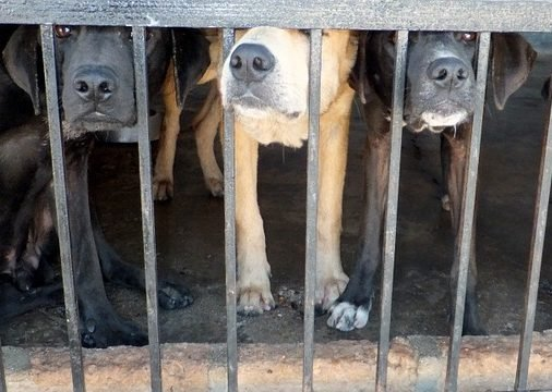 Dogs stand behind bars.