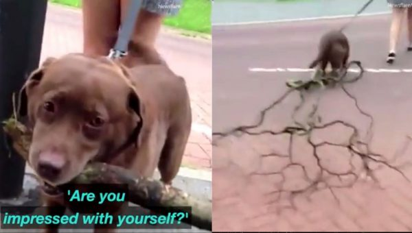 Determined Labrador Drags Home World's Biggest Stick [Video]