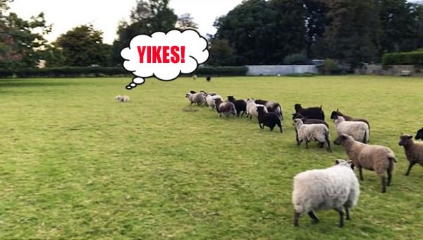 Excited Terrier Is the World's Worst Sheepdog in Hilarious Video