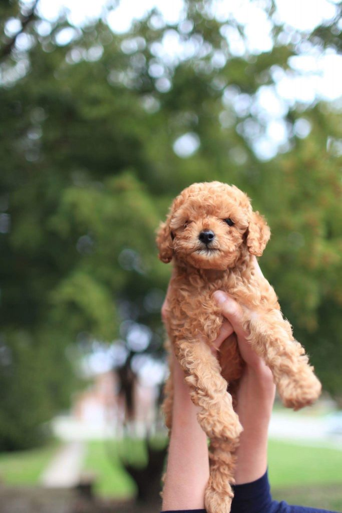 All About Miniature Dog Breeds Are