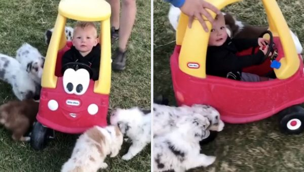Toddler in Toy Car Is Completely Overrun by Excited Puppies [Video]