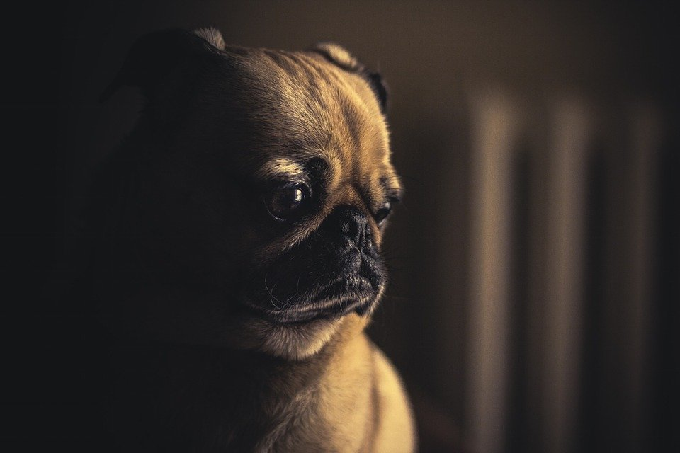 A sad pug puppy sits in shadow.
