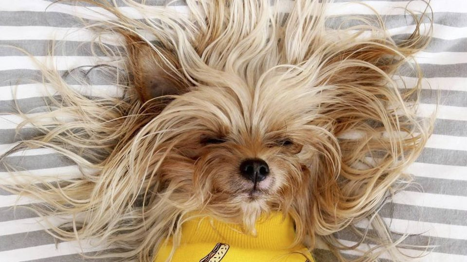 Do Yorkies Shed? The Answer Might Surprise You | The Dog
