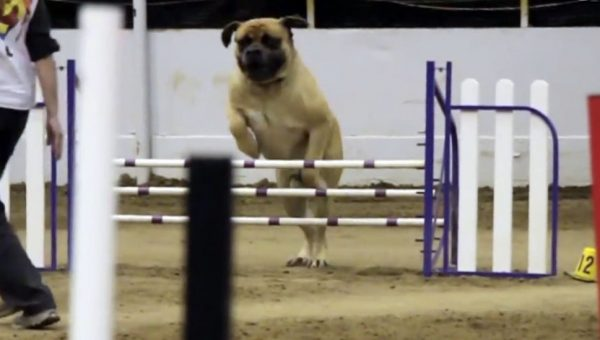 Bullmastiff Takes His Own Sweet Time, Does Agility Course in Slo-Mo [Video]