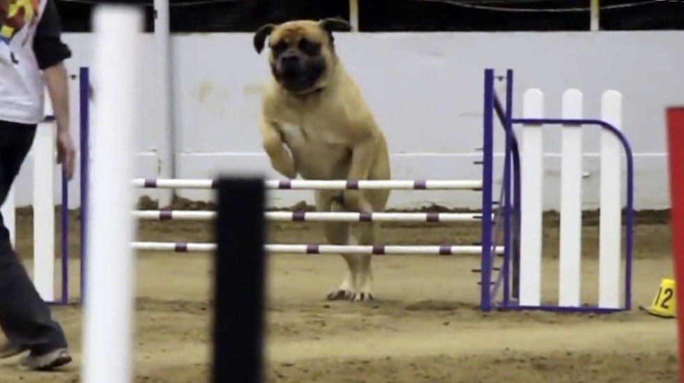 Bullmastiff Takes His Own Sweet Time Does Agility Course