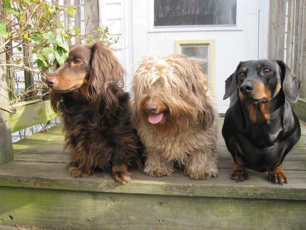 dachshund varieties