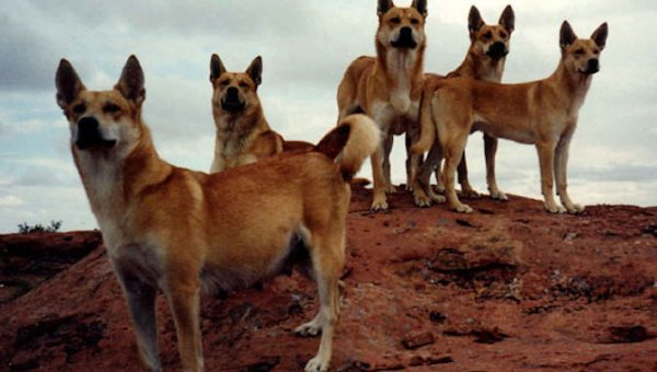 Fall in Love with America's Only Wild Dog: All About the Carolina Dog