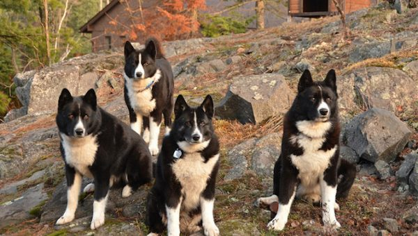 Karelian Bear Dogs: Instead of Sheep, These Dogs Herd…Bears