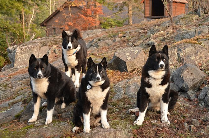 karelian bear dogs instead of sheep these dogs herd