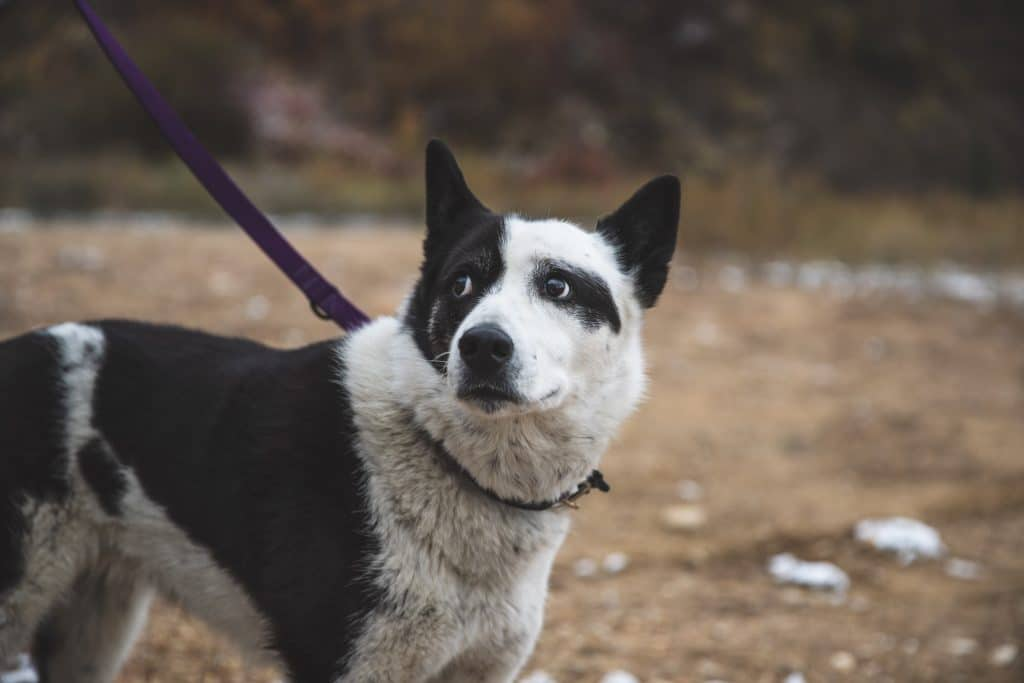 A Karelian bear dog on a leash