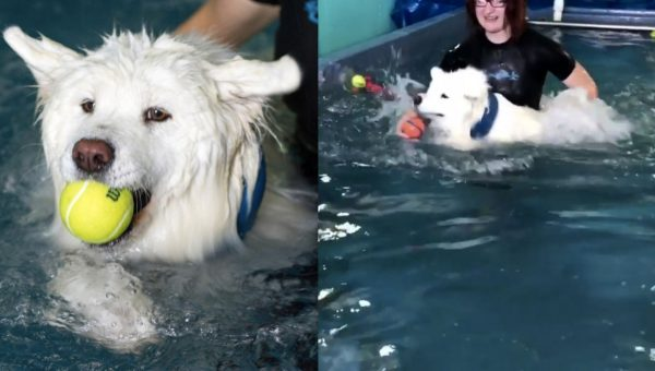 Video of Samoyed Learning to Swim is the Pretty Much the Cutest Ever