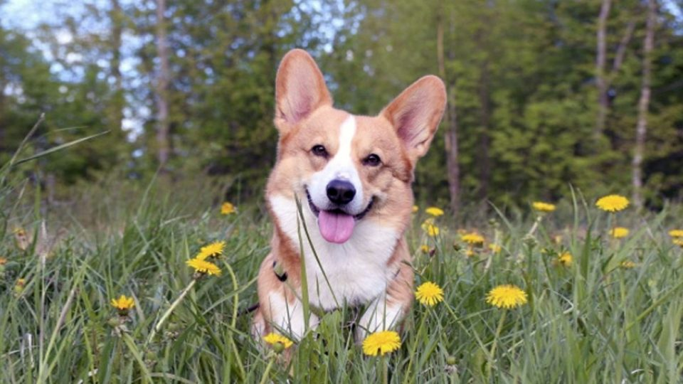 breed spotlight all about the corgi the dog people by rover com