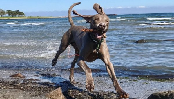 Breed Spotlight: All About the Weimaraner