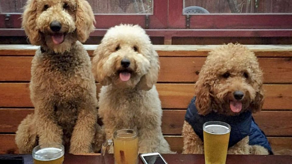 10 Things Only Goldendoodle Lovers Understand The Dog People By