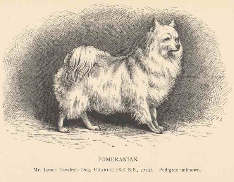 pomeranian history breed spotlight all about the pomeranian the dog people 5852