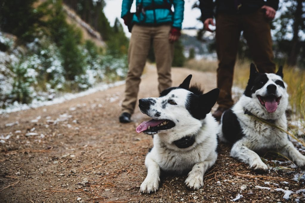 Two Karelian bear dogs rest on a forest trail