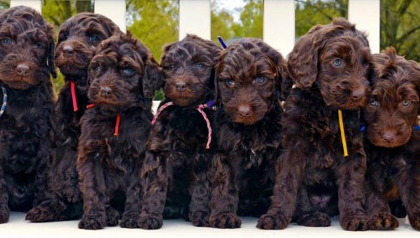 The 110 Most Popular Labradoodle Names for 2019