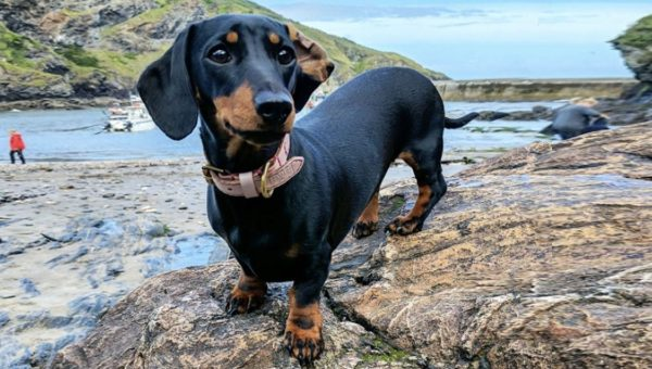 Breed Spotlight: All About the Dachshund