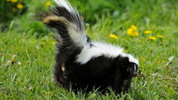 How Can I Get Rid of a Skunk Smell on My Dog?