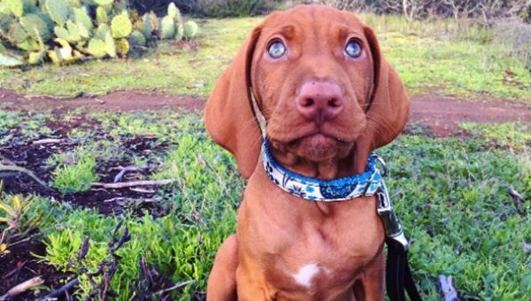 12 Things You Might Not Know About Vizslas