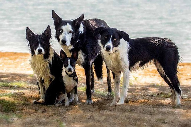 7 things border collie people know by heart the dog people by
