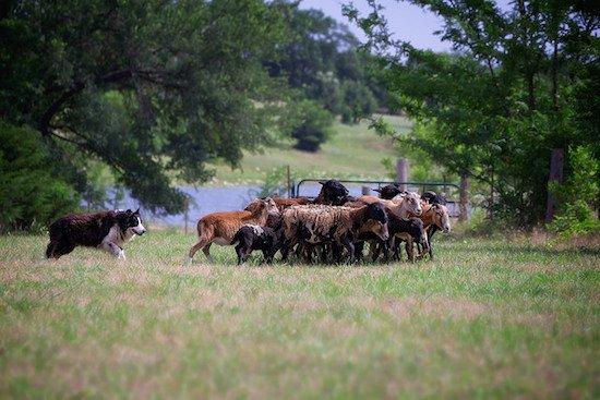 border collie en chien de berger
