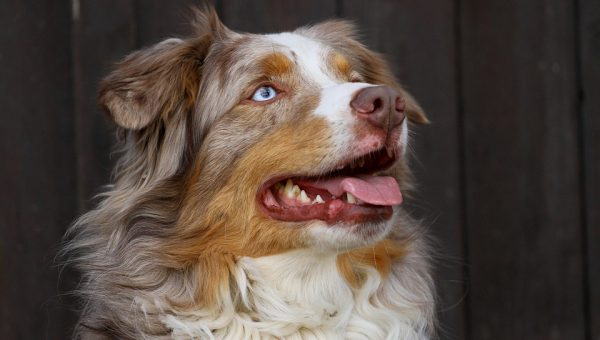 7 Things Only Australian Shepherd Owners Understand