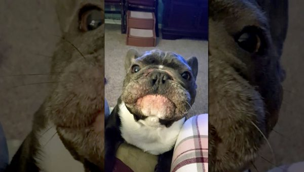 Begging French Bulldog Sounds Exactly Like Race Car in Hilarious Video