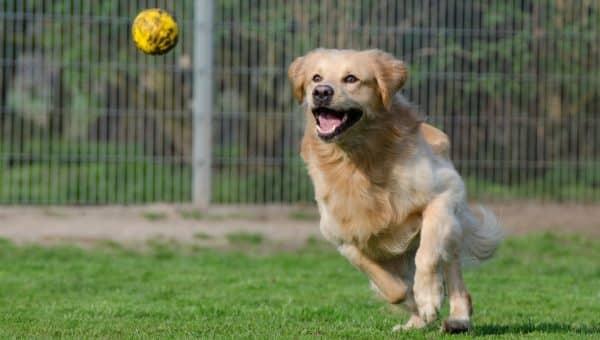 Hur du tränar din hund till att apportera
