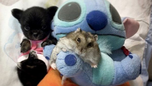 Pet Hamster Naps with Family of Chihuahuas in Best Snuggle Fest Ever