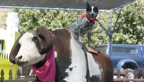 You've Got to See this Blue Heeler Who Rides the Mechanical Bull at Rodeos