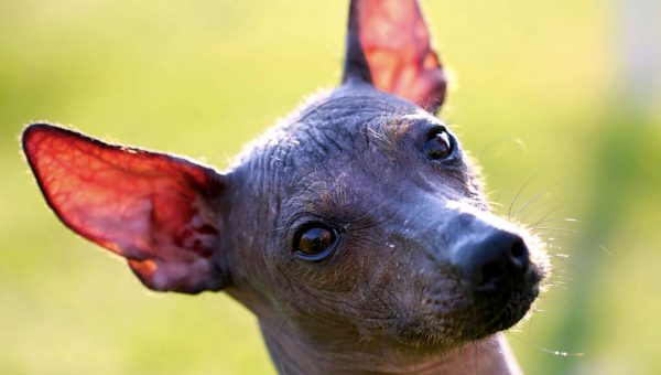 Can You Pronounce All 13 of These Unusual Dog Breed Names?