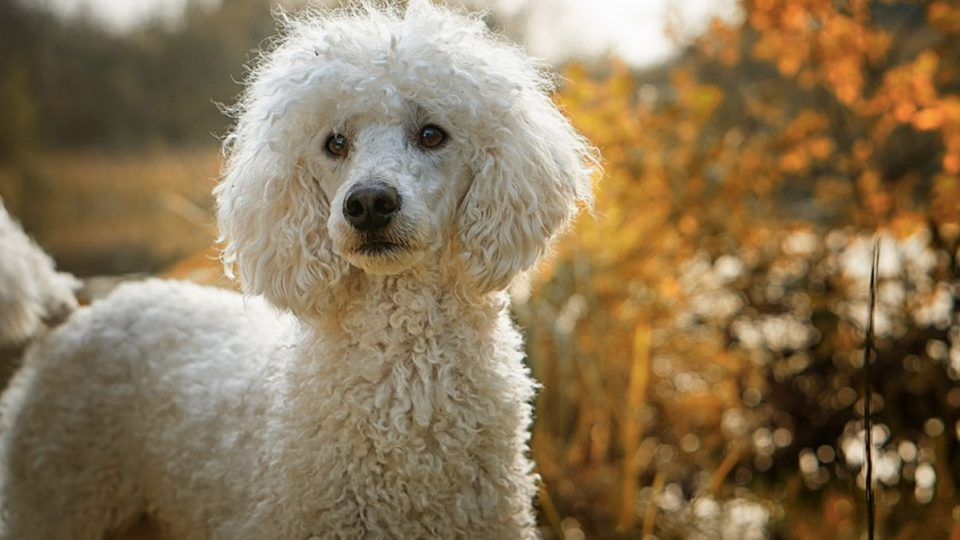 Heres Everything You Probably Dont Know About Poodles The Dog