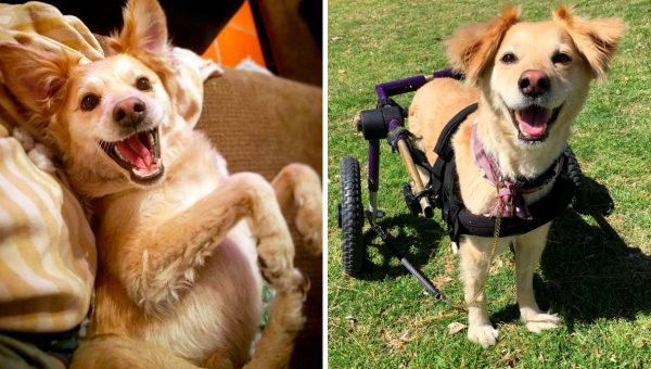 Scooty Has a Wheelchair and She's the Happiest Dog on the Planet