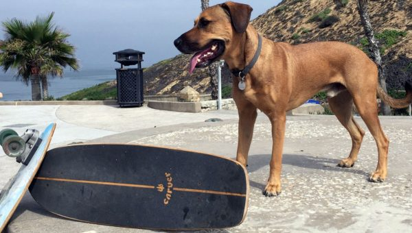 Talented Dog Cruises on Skateboard with Incredible Ease in Cool Video Series