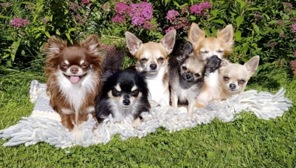 The Chihuahua ChaCha is the Small Dog Party Anthem You Need