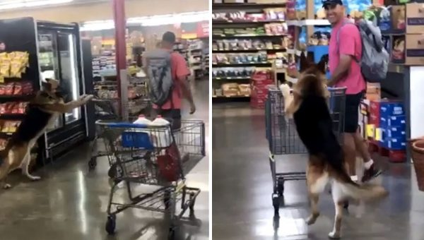 German Shepherd Wows Shoppers by Happily Pushing Cart in Grocery Store