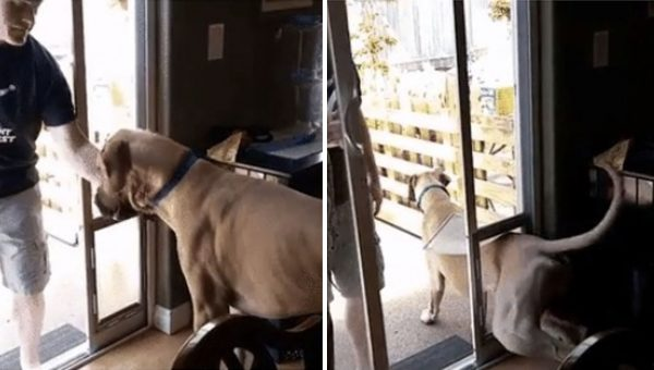 Full-Grown Great Dane Insists on Exiting Through Tiny Dog Door