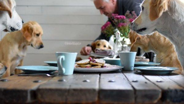Family of Six Golden Retrievers Enjoys Weekly Pancake Breakfasts