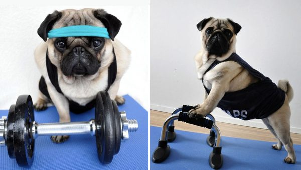 These Athletic Pugs Are Breaking the Couch 'Pugtato' Stereotype