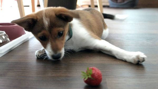 Puppies Vs. Strawberries: The Ultimate Showdown
