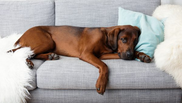 Dear Trainer: How Do I Keep my Dog off the Couch?