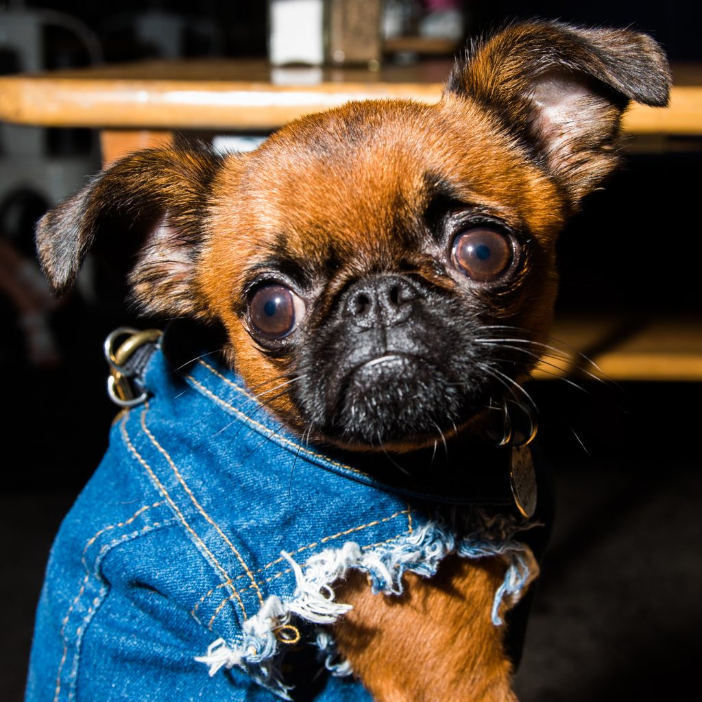 Nyc S Favorite Brussels Griffon Is Famous For His
