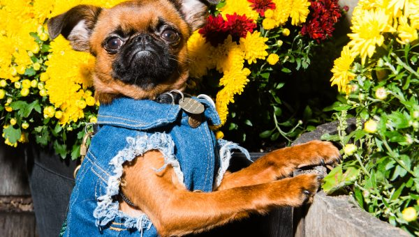 NYC's Favorite Brussels Griffon Is Famous for His Impeccable, Pint-Sized Fashion