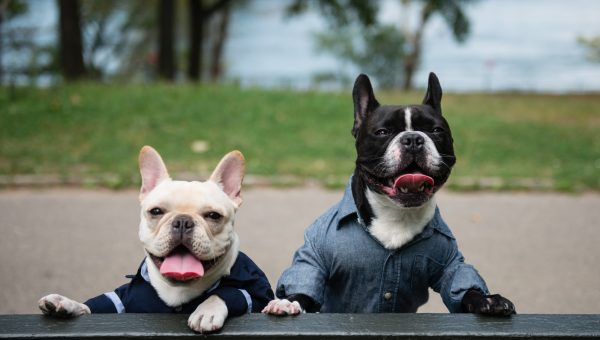 This Stylish Frenchie Became Famous—and Then His Brother Did, Too